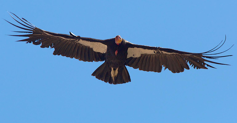 flying-condor.jpg