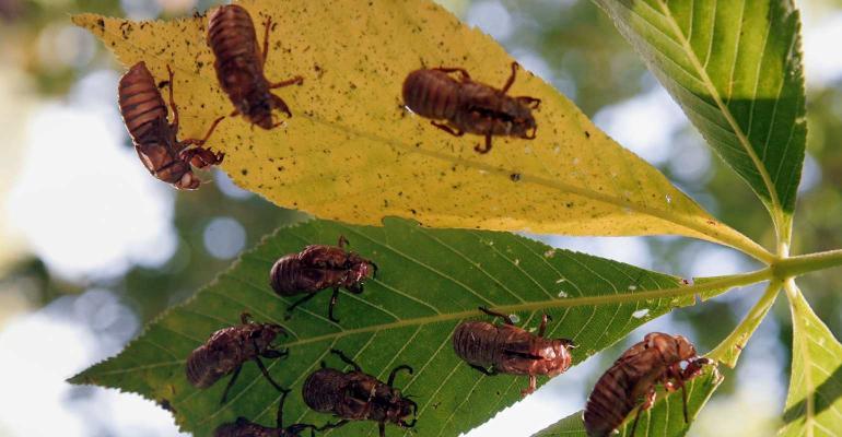cicadas re-emergence