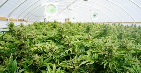 marijuana-greenhouse