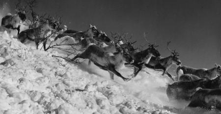 reindeer-stampede.jpg